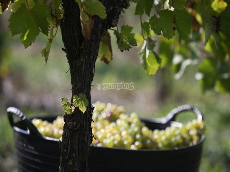 Uvas de txacoli