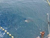享受金枪鱼之间的海洋