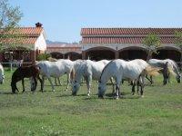 Cavalli del pascolo di stalloni