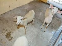 ovejas granaja escuela