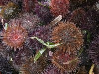 Sailboat tour and sea urchin tasting for children