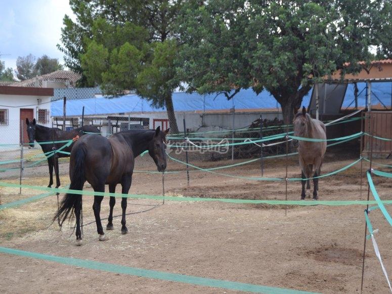caballos tranquilos
