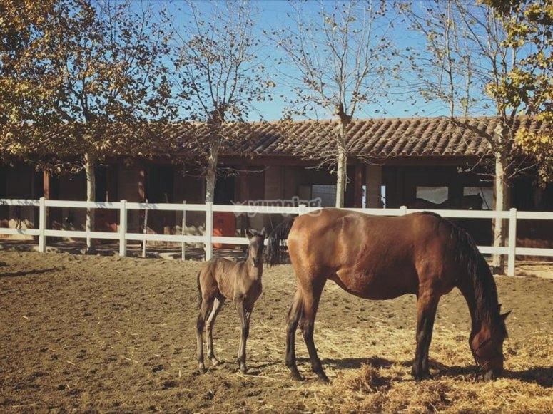 Yegua y cria en Rodonya