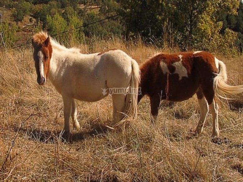 Ponis pastando