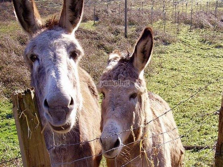 Donkeys appearing
