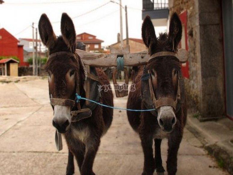 Couples of donkeys