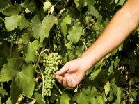 Recogiendo las uvas