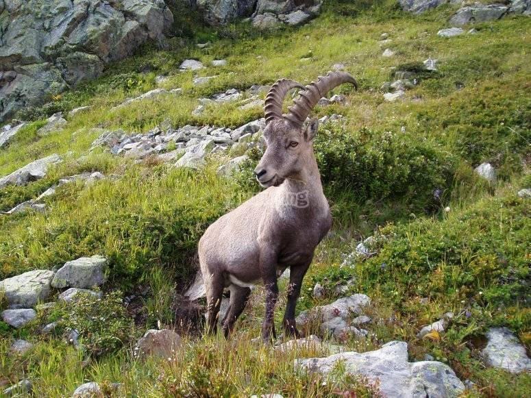 阿尔卑斯山羊