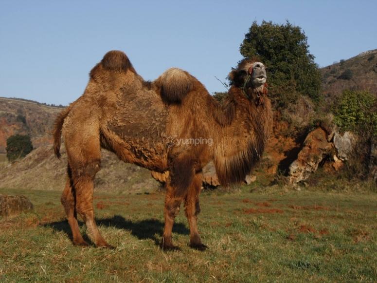 雄伟的骆驼