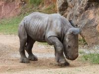 Rinoceronte peque