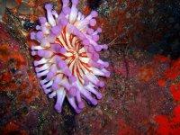 Anemona morada