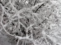 Snow fallen on the branches