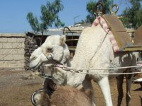 Saddled camels