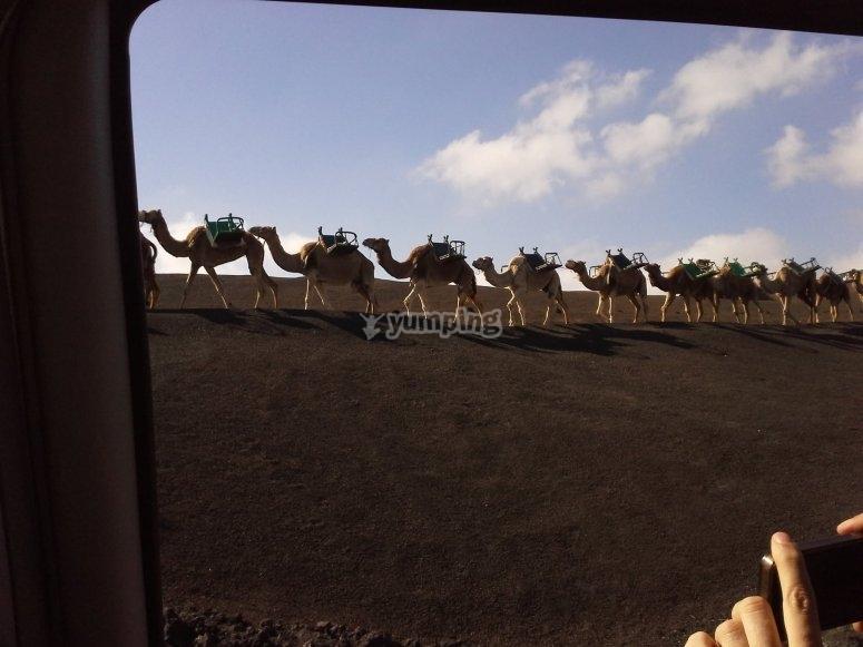 Fotografiando los camellos
