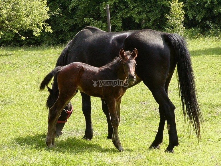 Potro y su madre