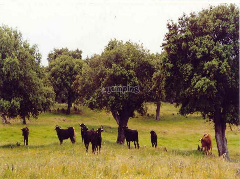 Breeding cows