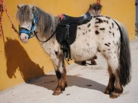 Pony con pintas negras