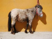 Pony raton