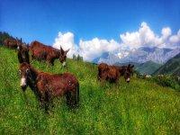 Burros descansando en Los Picos de Europa