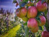 Manzanas en el arbol