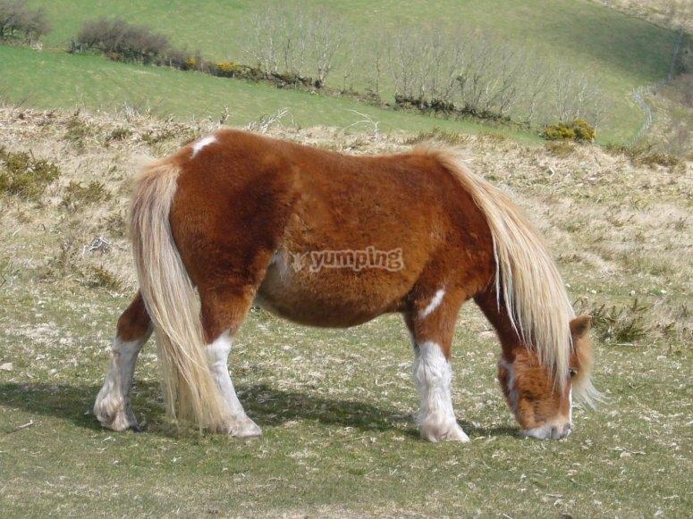 Pony pastando
