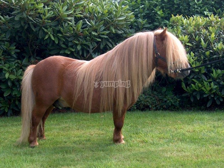 Pony amarrado