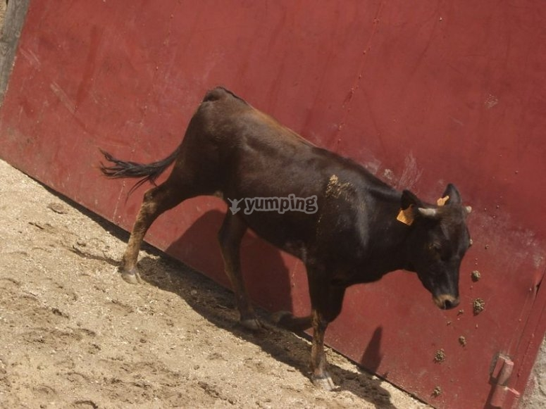 Heifer in the capea
