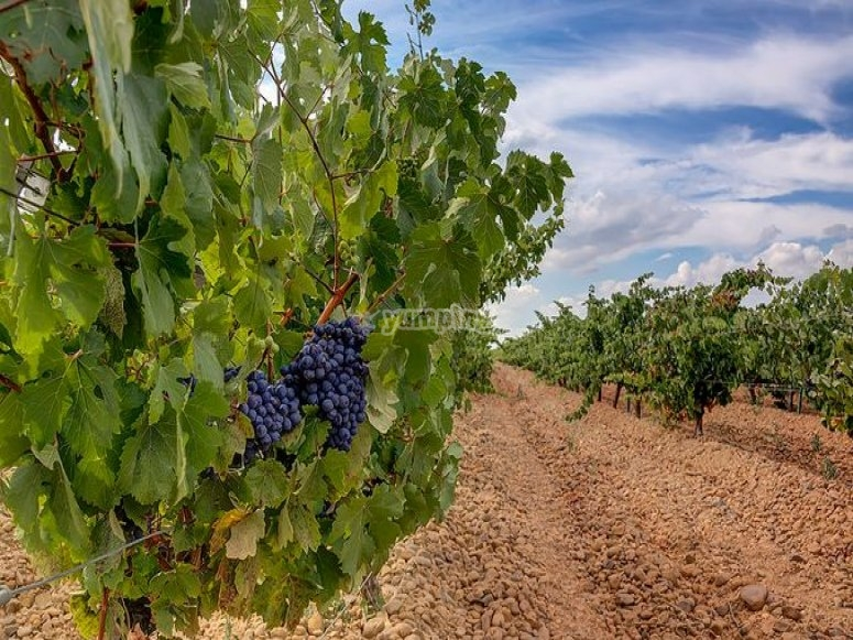 Uvas del vinedo