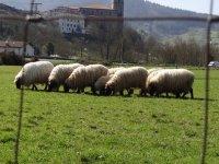 Viendo ovejas