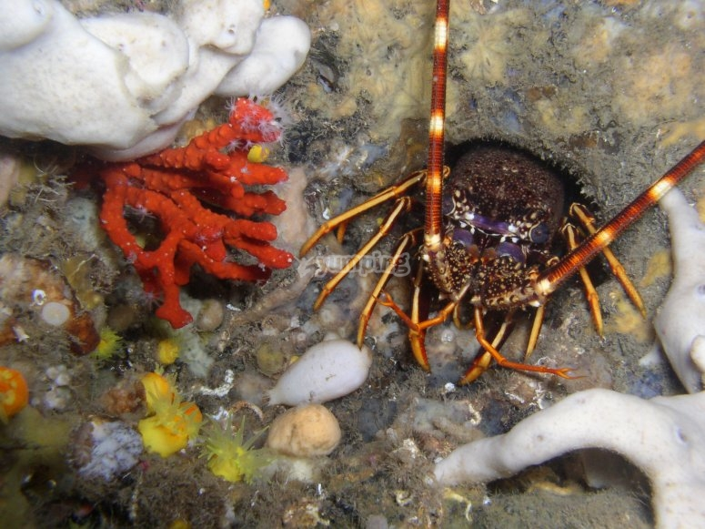 Crustaceo en el fondo marino de Gerona