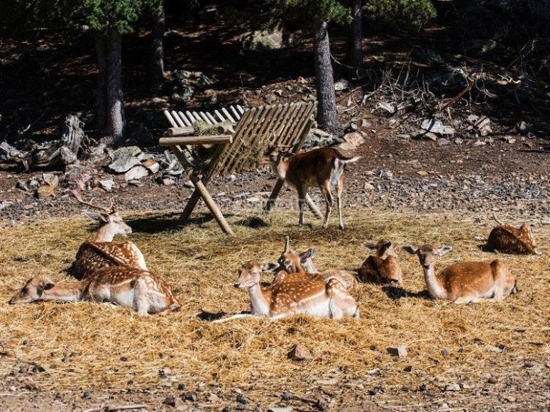 Little fawns laying