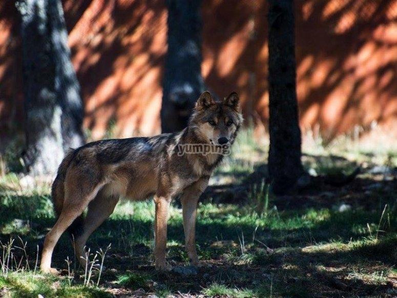 An exemplary wolf