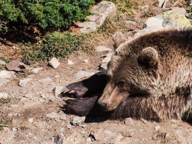 A bear resting