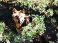 Uno de los lobos