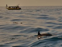 Dolphin watching excursion La Palma adults 2hrs
