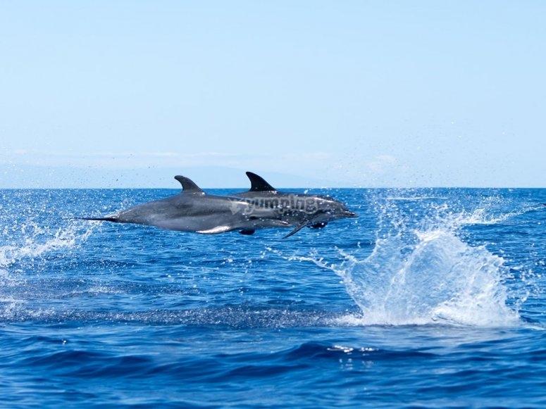 海豚游泳在金丝雀