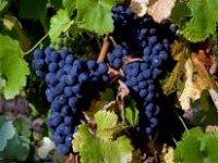 Deliciosas uvas