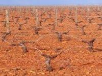 Viñedo de 31 hectáreas