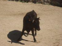 vaquilla capeas