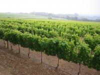 Plantacion de vinedos