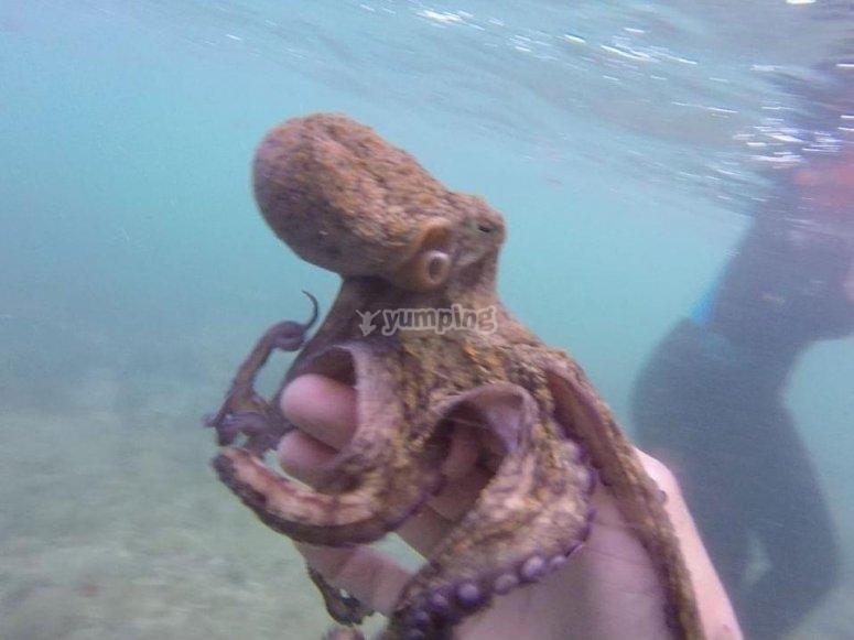 Viendo un pulpo durante el snorkel
