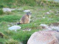Avvistamento marmotta