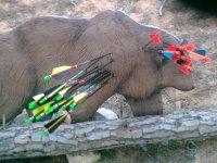 diana 3 d oso con flechas