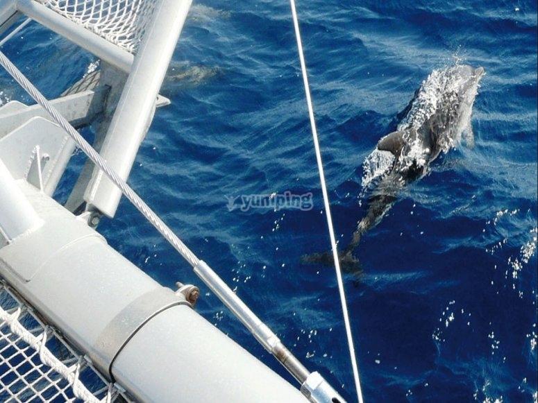 Puede que algun cetaceo se acerque al catamaran