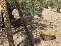 Los olivares de los que se obtiene la aceituna aloreña