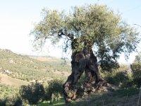 Visita fincas de olivos milenarios en Alozaina