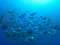 Banco de peces en el Mar Rojo