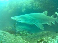 Tiburon visto durante la inmersion