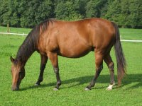 Horse grazing in the grass