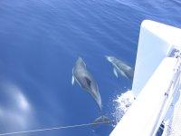 Delfines nadando junto al catamarán